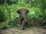 Folks from Nat Geo saw this tiny baby elephant charging after them