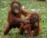 Look at these two cute orangutans playing!