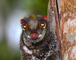 Stare into the eyes of....COLUGO!