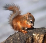 Is that a bird? a plane? No, it is this tiny little red flying squirrel